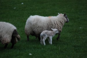 Sheep in the Highlands of Scotland ~ My visit in the Spring of 2009